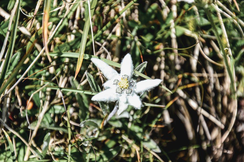 Edelweiss Seiser Alm Wanderung