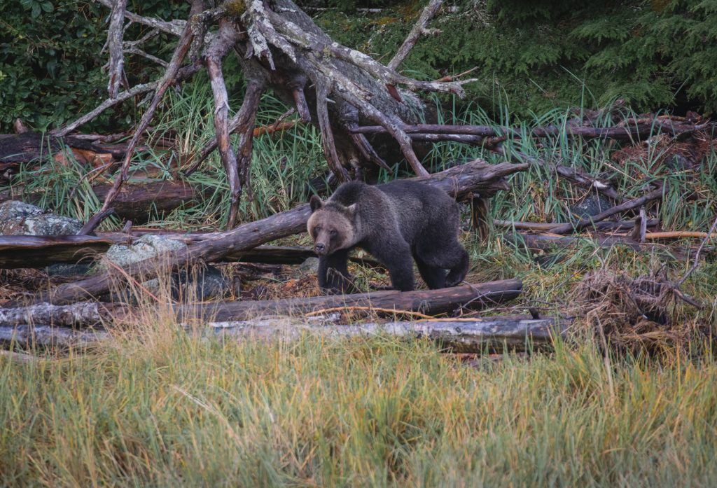 Grizzly Bär am Ufer
