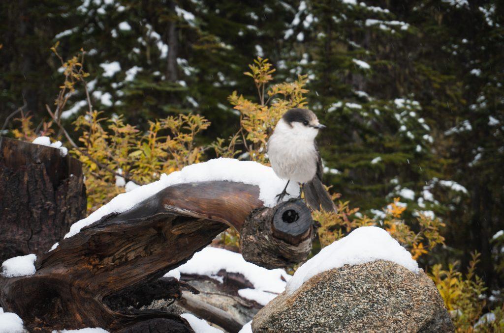 Joffre Lakes Provincial Park Vogel