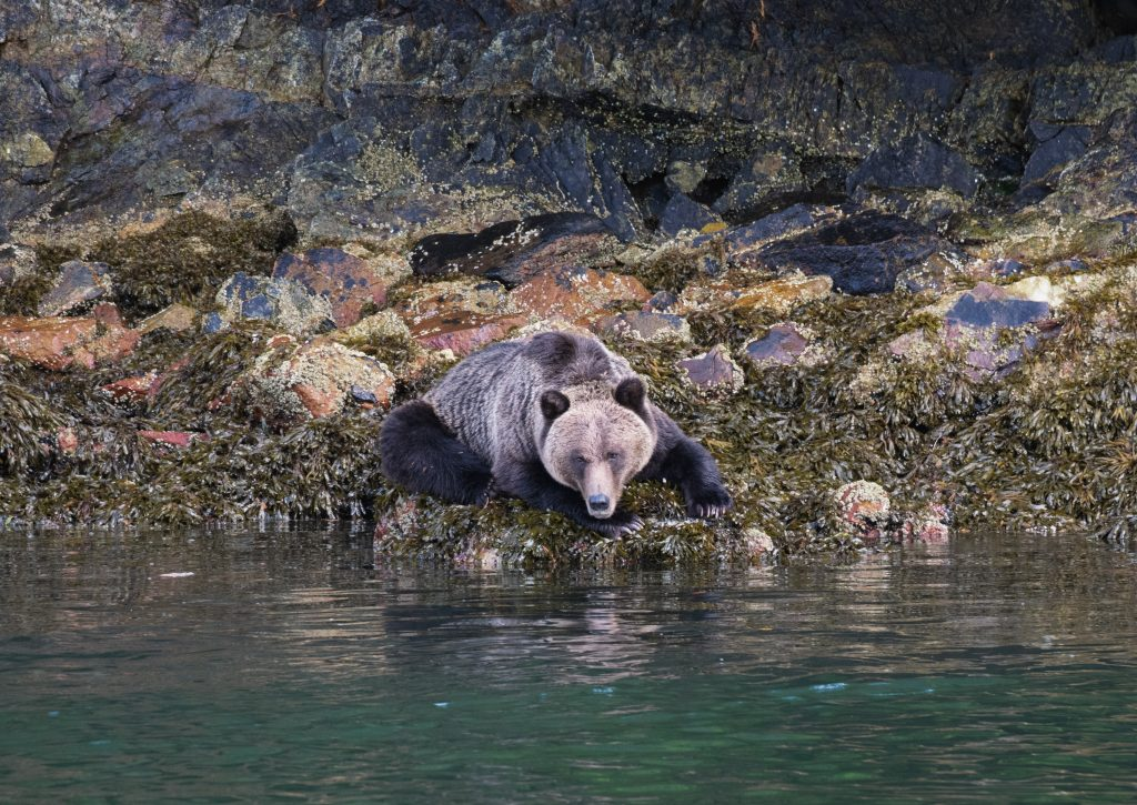 Junger Grizzly auf Felsen