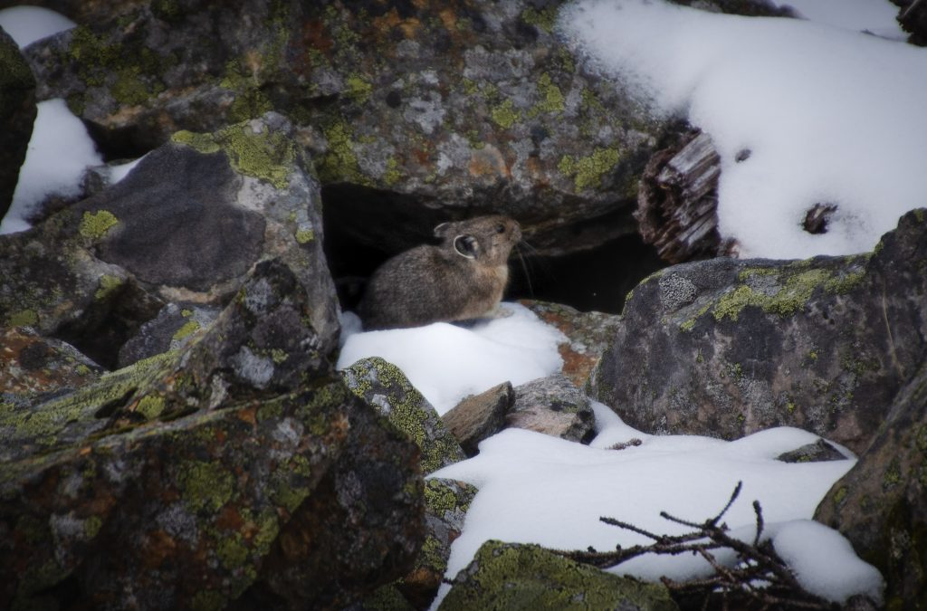 Mt. Edith Cavell Pika