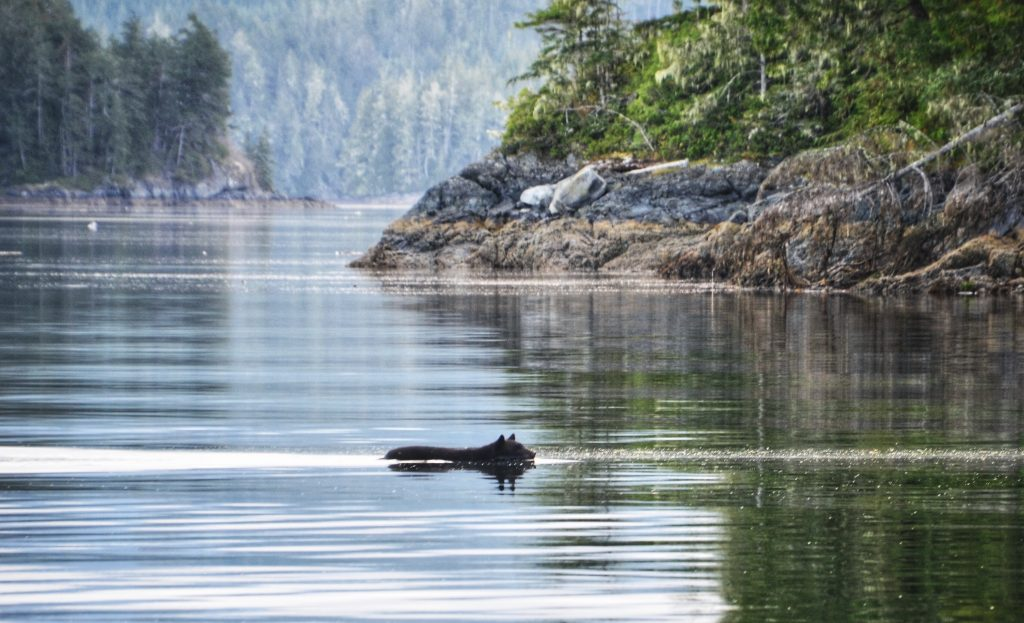 Schwarzbär schwimmt durch Fjord 2