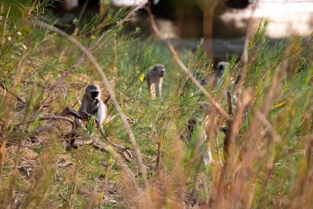 Affen spielen am Fluss