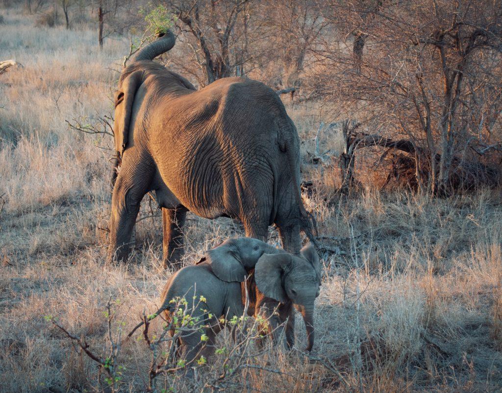 Baby Elefanten Krüger Nationalpark Südafrika