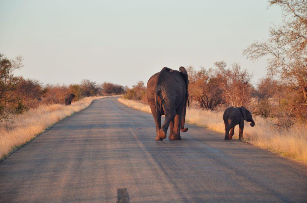 Elefanten Krüger NP Südafrika Safari