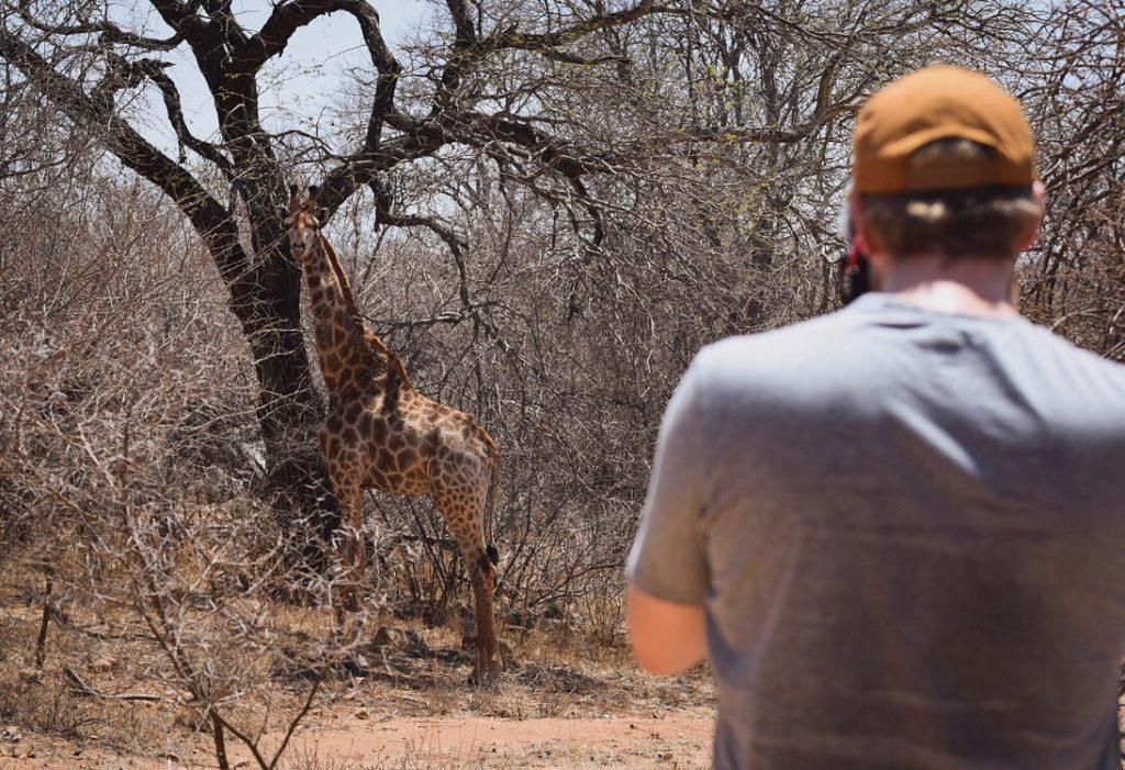 Giraffe Walking Safari Südafrika