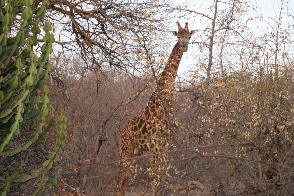 Giraffel Ndlovumzi Nature Reserve