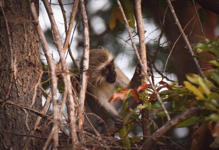 Gruenmeerkatze Ndlovumzi Nature Reserve