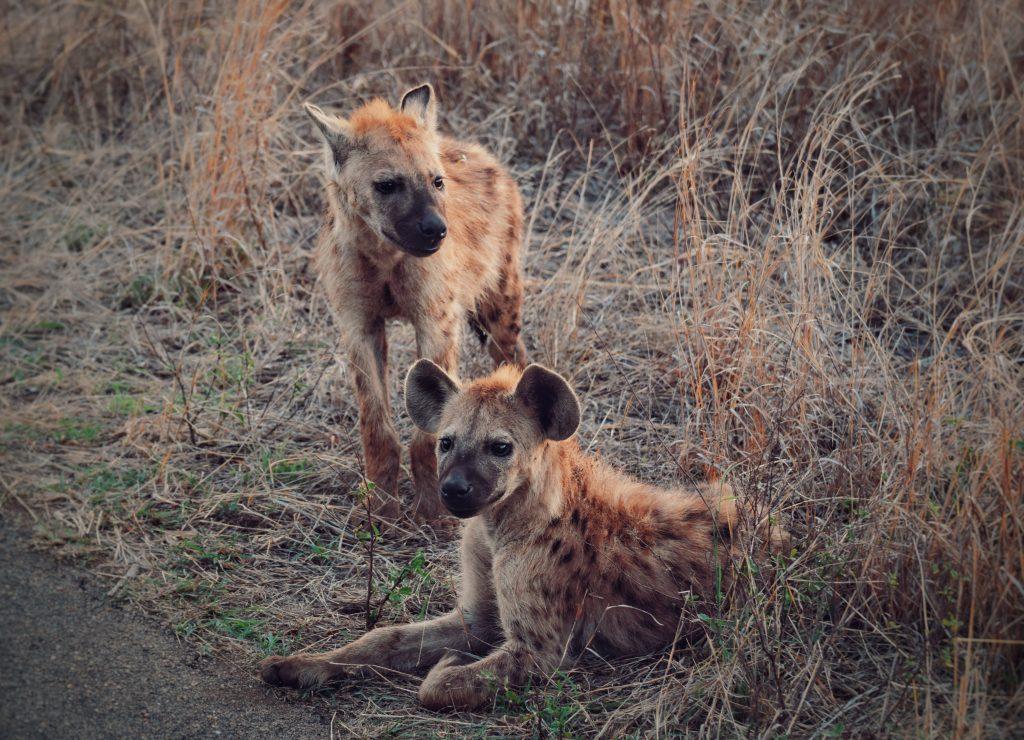 Hyänenbabies Südafrika
