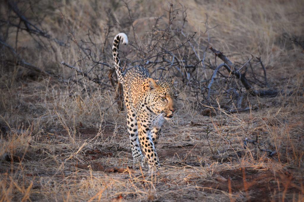 Leopard Balule Nature Reserve Südafrika