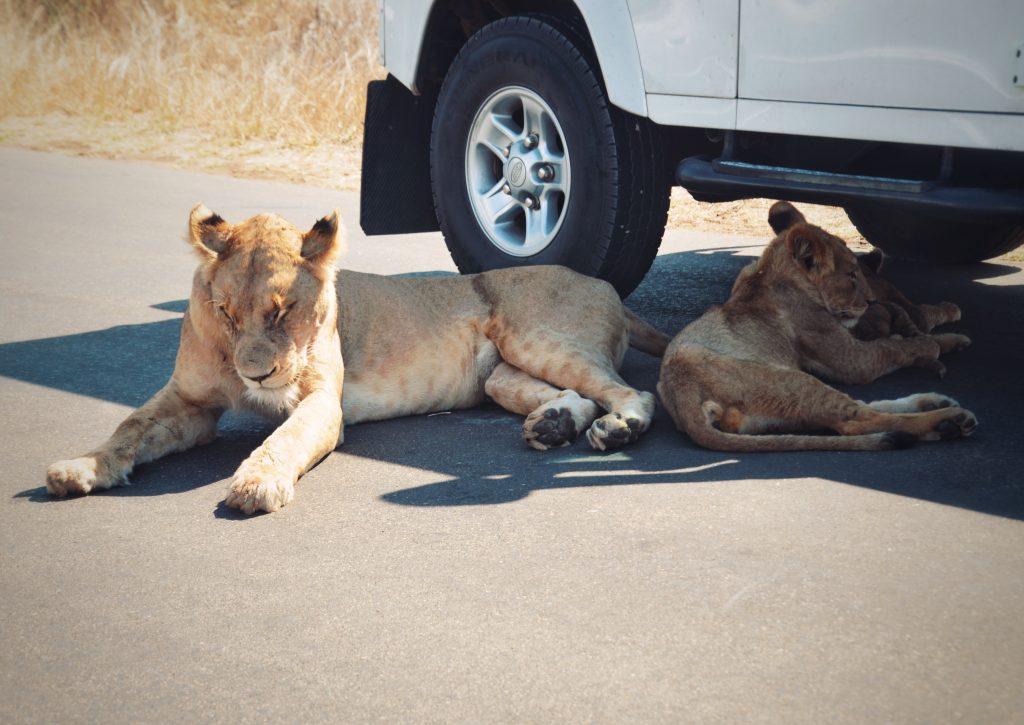 Löwen Krüger Nationalpark Südafrika