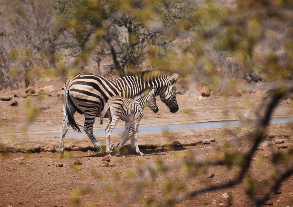 Zebra Safari Krüger Nationalpark Südafrika