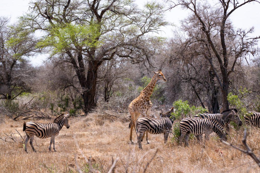 Giraffen Zebras Selbstfahrer Safari