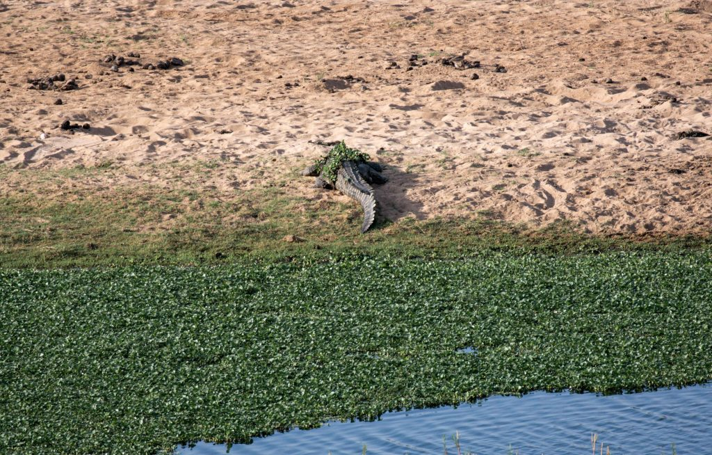 Krokodil im Krüger Nationalpark