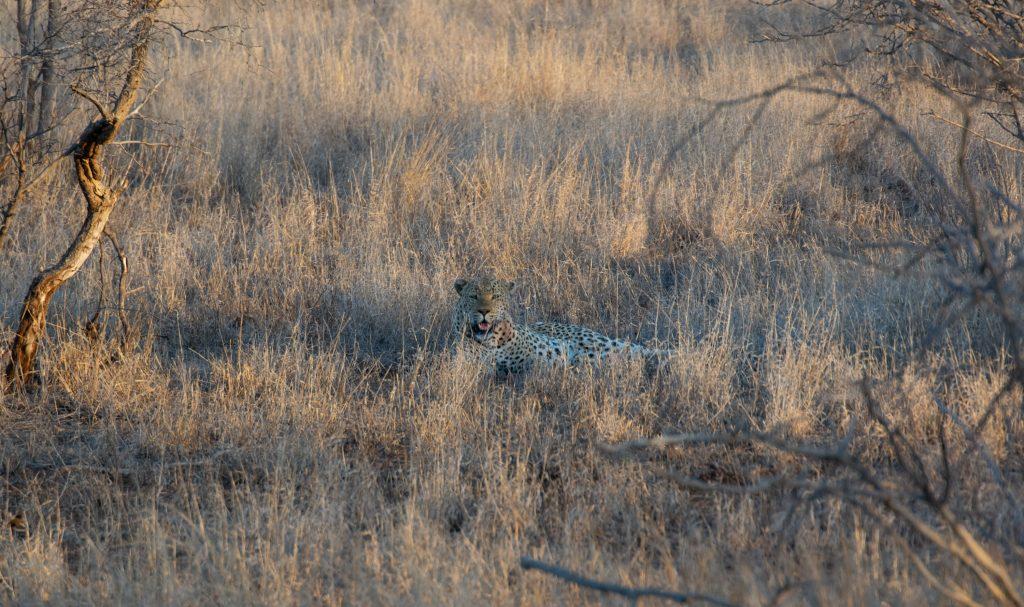 Leopard Sunset Drive Satara Restcamp