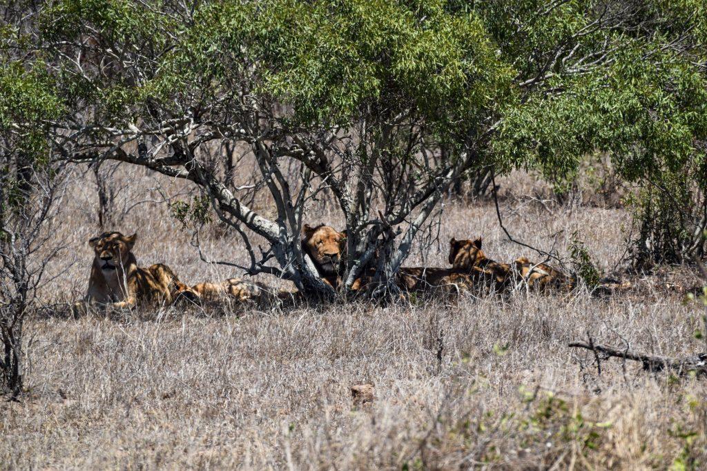 Löwen im Schatten Krüger Nationalpark