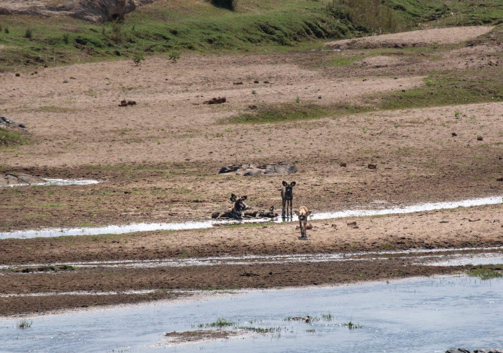 Südafrikanische Wildhunde im Krüger Park