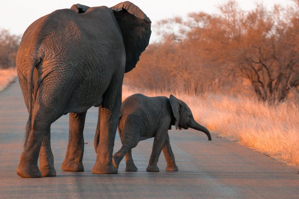 Sunset Drive Satara Rest Camp Krüger Elefanten Baby_
