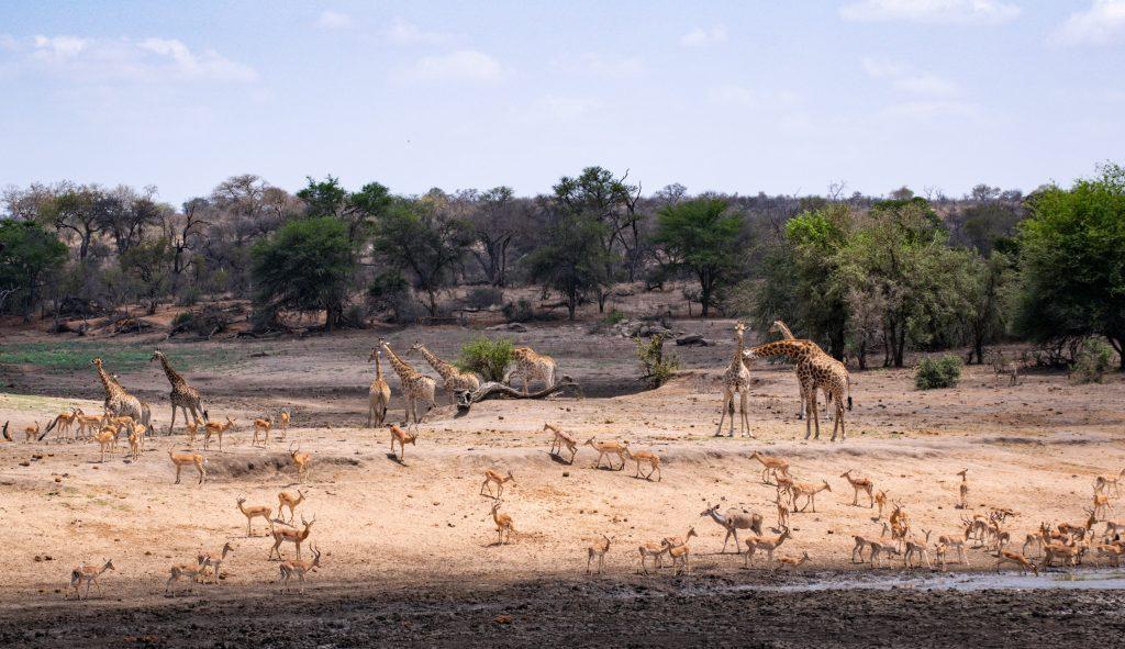Büffel im Krüger Nationalpark Safari eigenes Auto