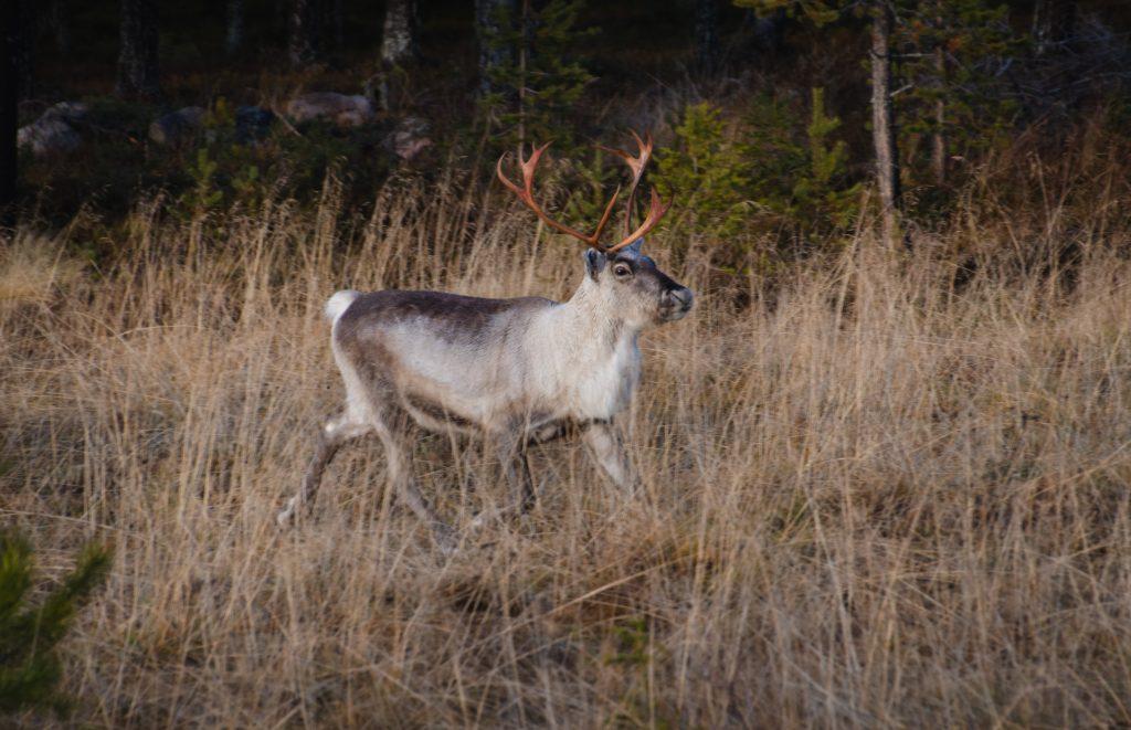 Rentiere Lappland Schweden Rundreise Camper Rundreise