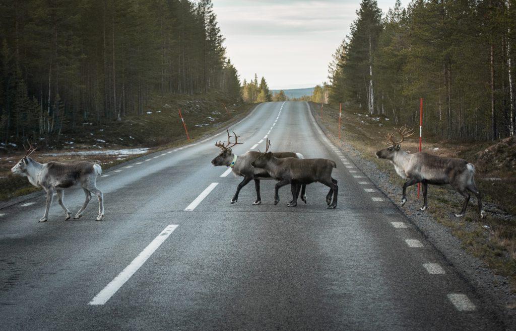 Rentiere Samen Lappland Schweden Skandinavien Winter