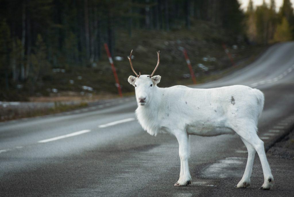 Rentiere in schwedisch Lappland weißes Rentier